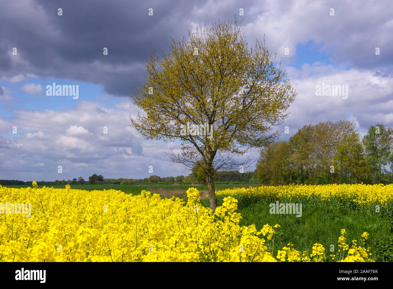 Baum am Rapsfeld, Niedersachsen, Stock Photo