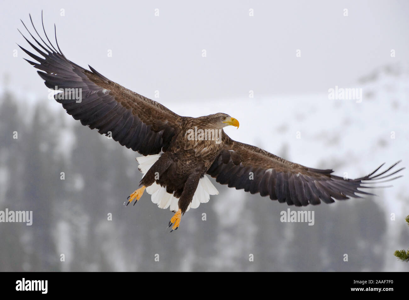 Adler, Greifvogel, Haliaeetus albicilla, white-tailed sea eagle, Winter Stock Photo