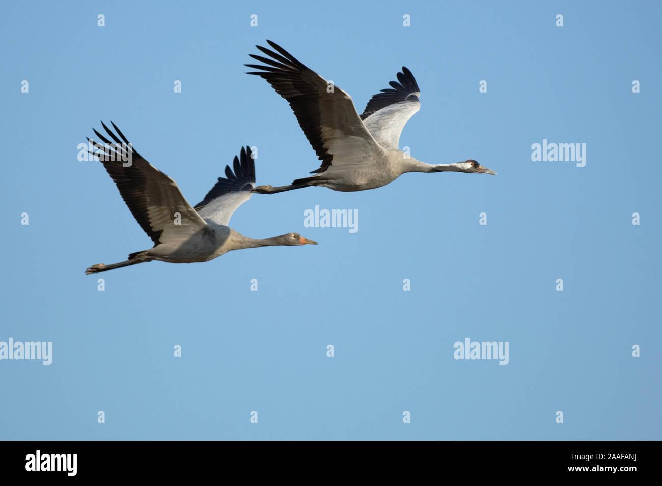 Fliegende Kraniche, Grus grus, Mecklenburg-Vorpommern Stock Photo