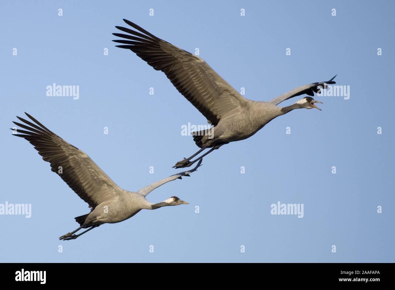 Fliegende Kraniche (Grus grus) Stock Photo