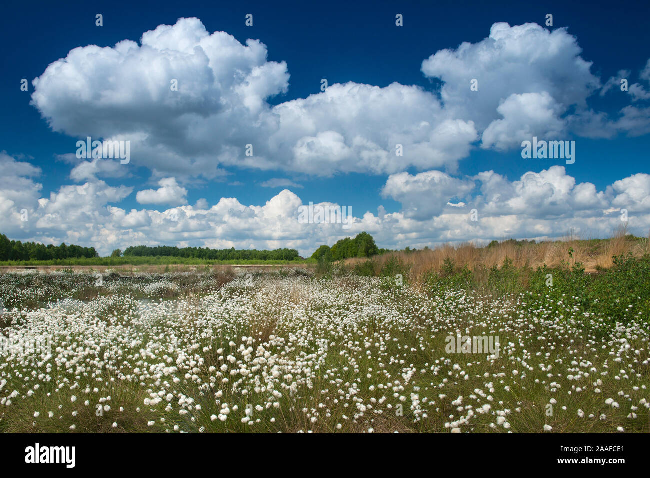 Fruchtstand des Wollgrases Stock Photo
