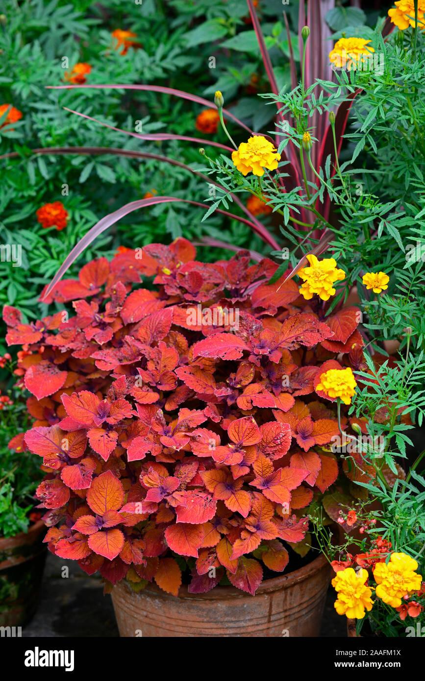 Coleus Campfire,Solenostemon scutellarioides Campfire,tagetes cinnabar,marigold,orange,rust,colour,color,flowers,foliage,garden,plants,pots,containers Stock Photo