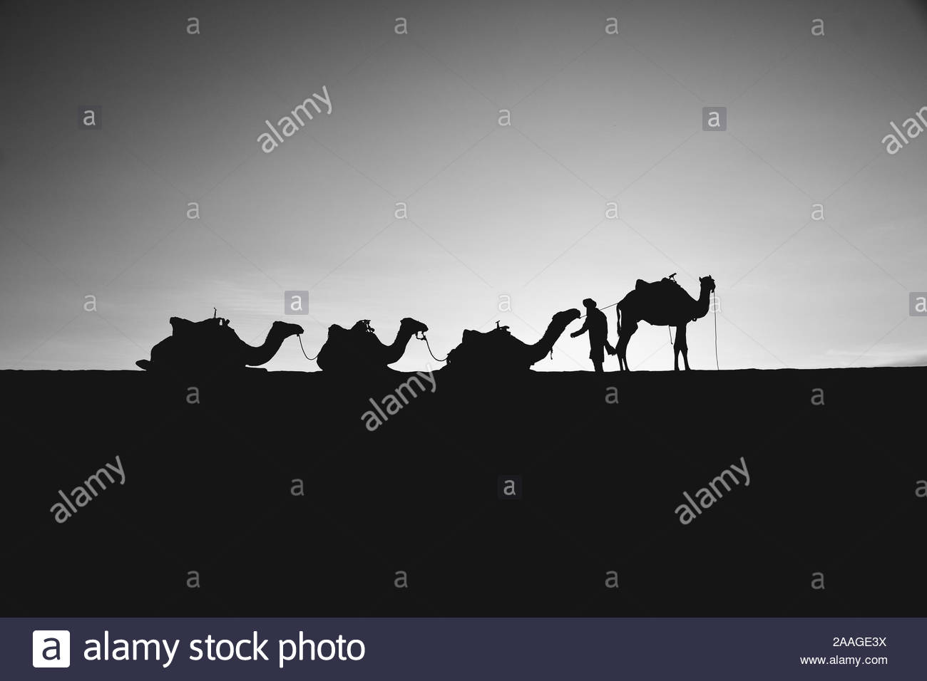 Merzouga, Errachidia / Morocco - 10 03 2019: Four dromedaries waiting to start the march together with a man in a black and white picture Stock Photo