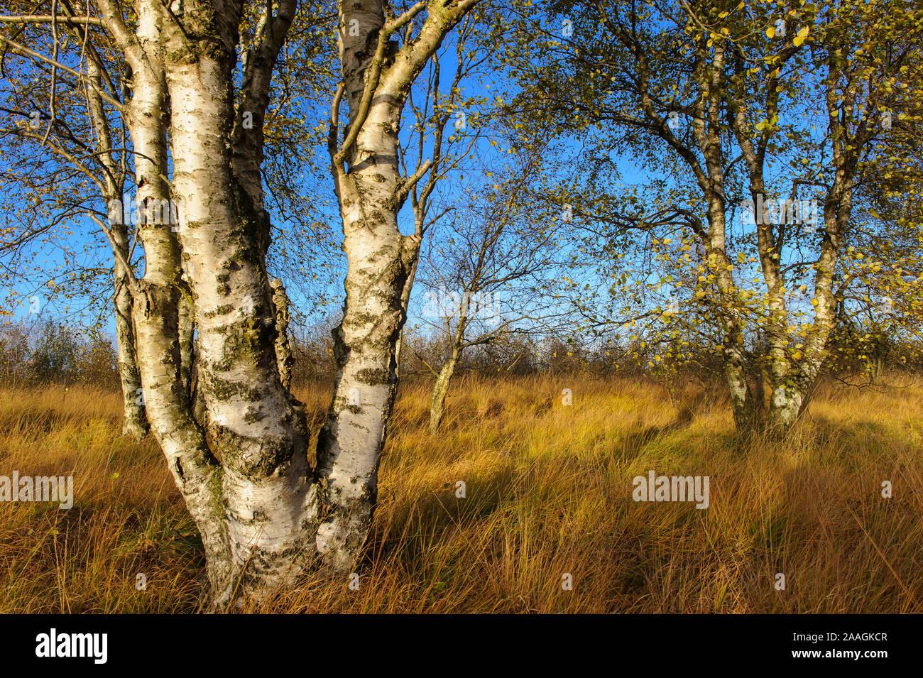 Herbstliche Birke im Moor Stock Photo