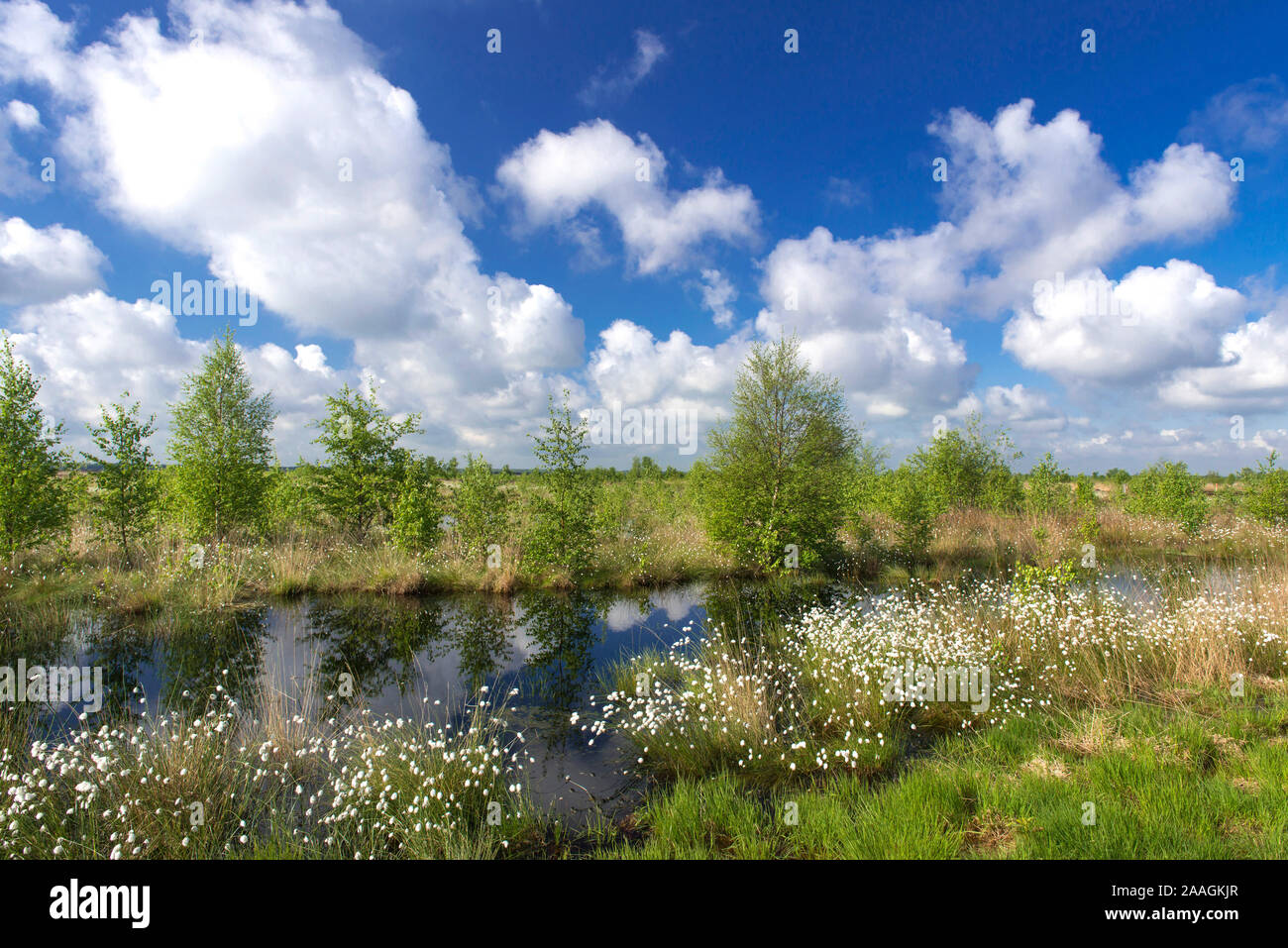 Landschaft mit Wollgras Stock Photo