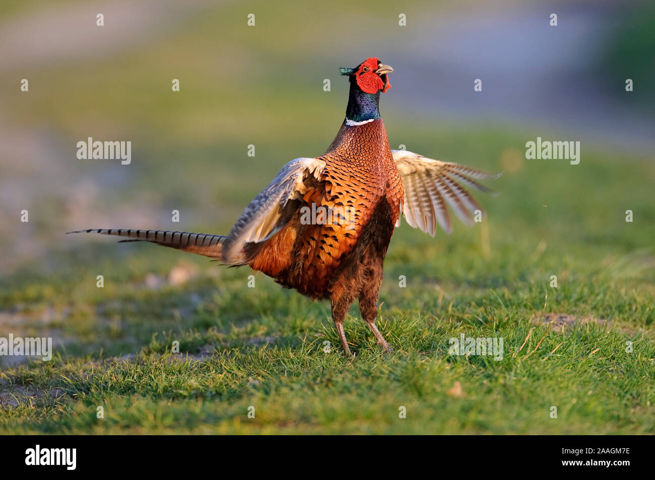 Fasan, Balz, Phasianus colchicus, Common Pheasant Stock Photo