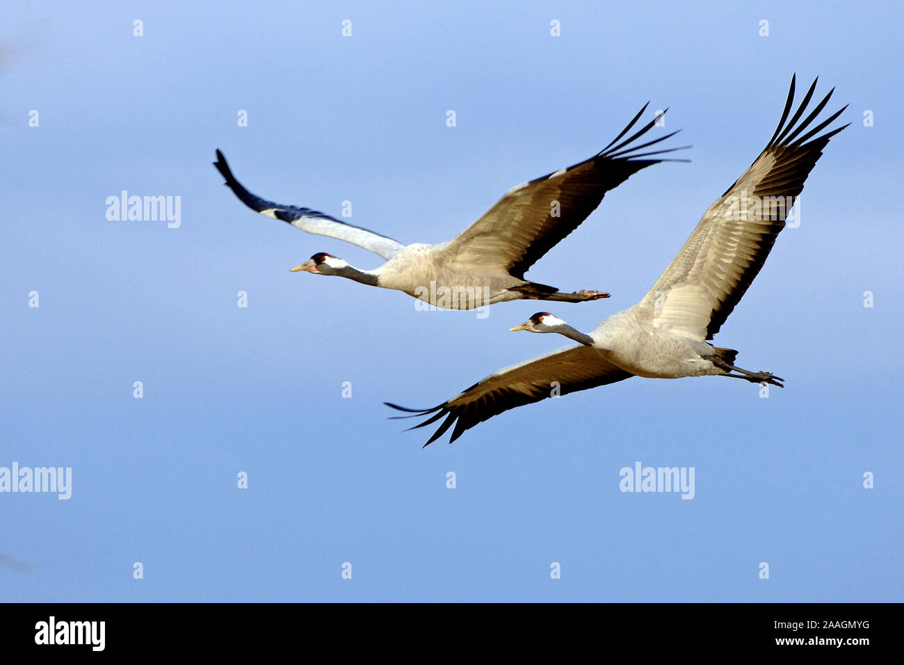 Kraniche, Grus grus, Stock Photo