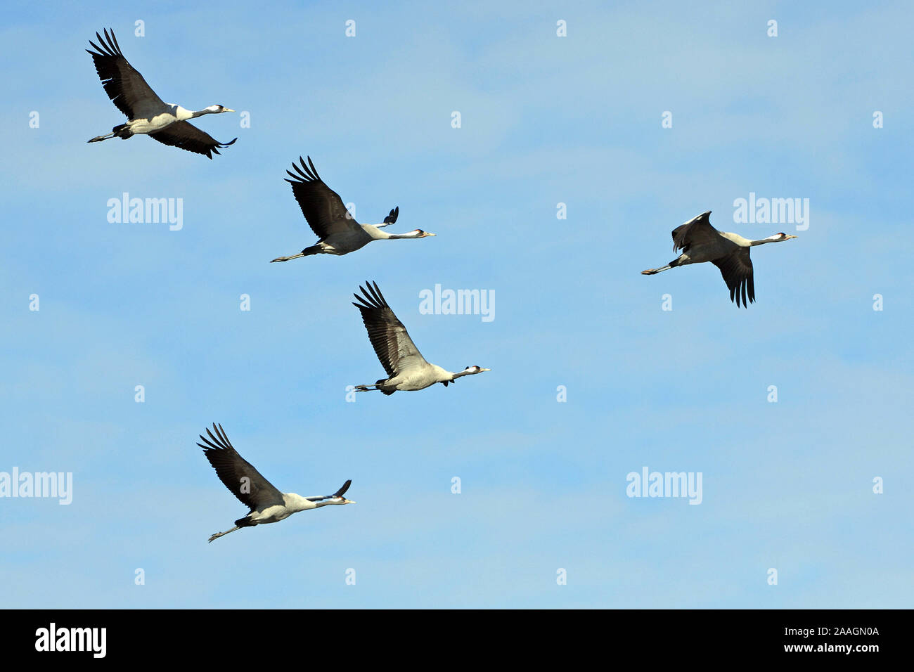 Kraniche, Grus grus, Stock Photo