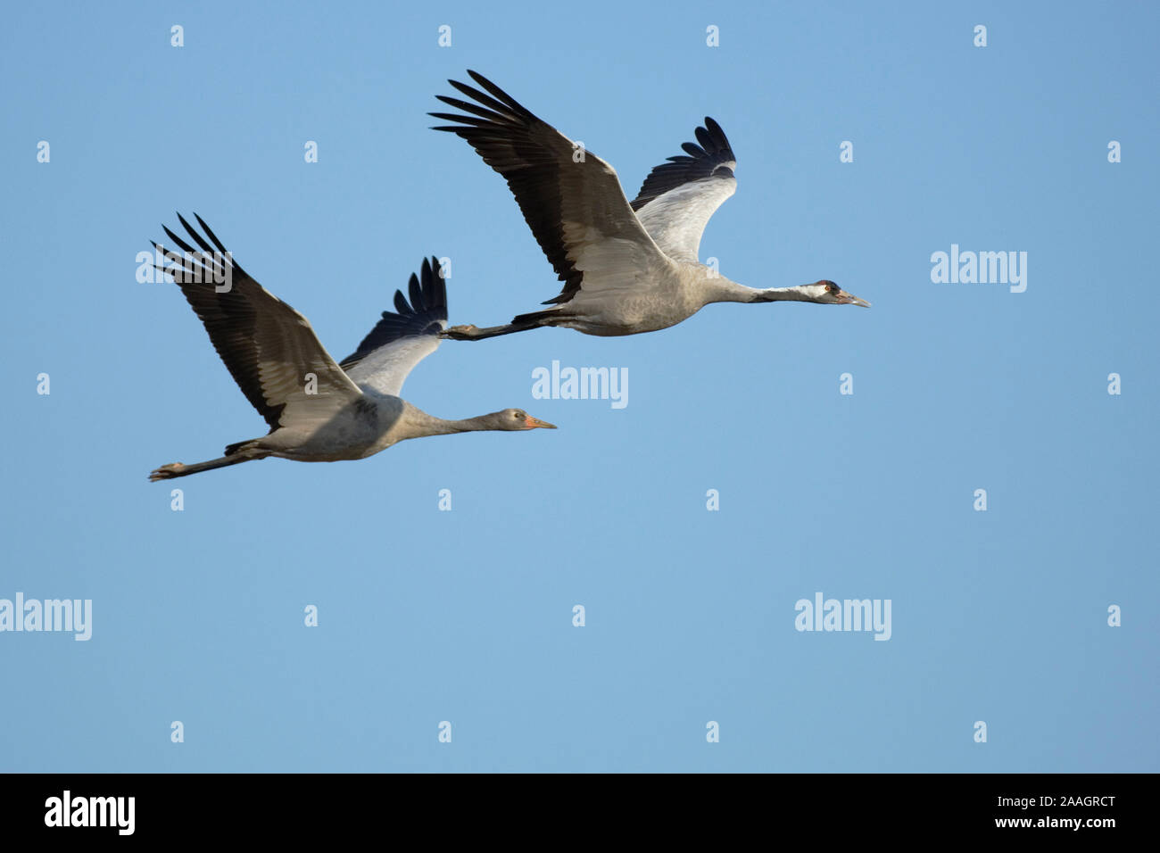 Fliegende Kraniche (Grus grus) Stock Photo