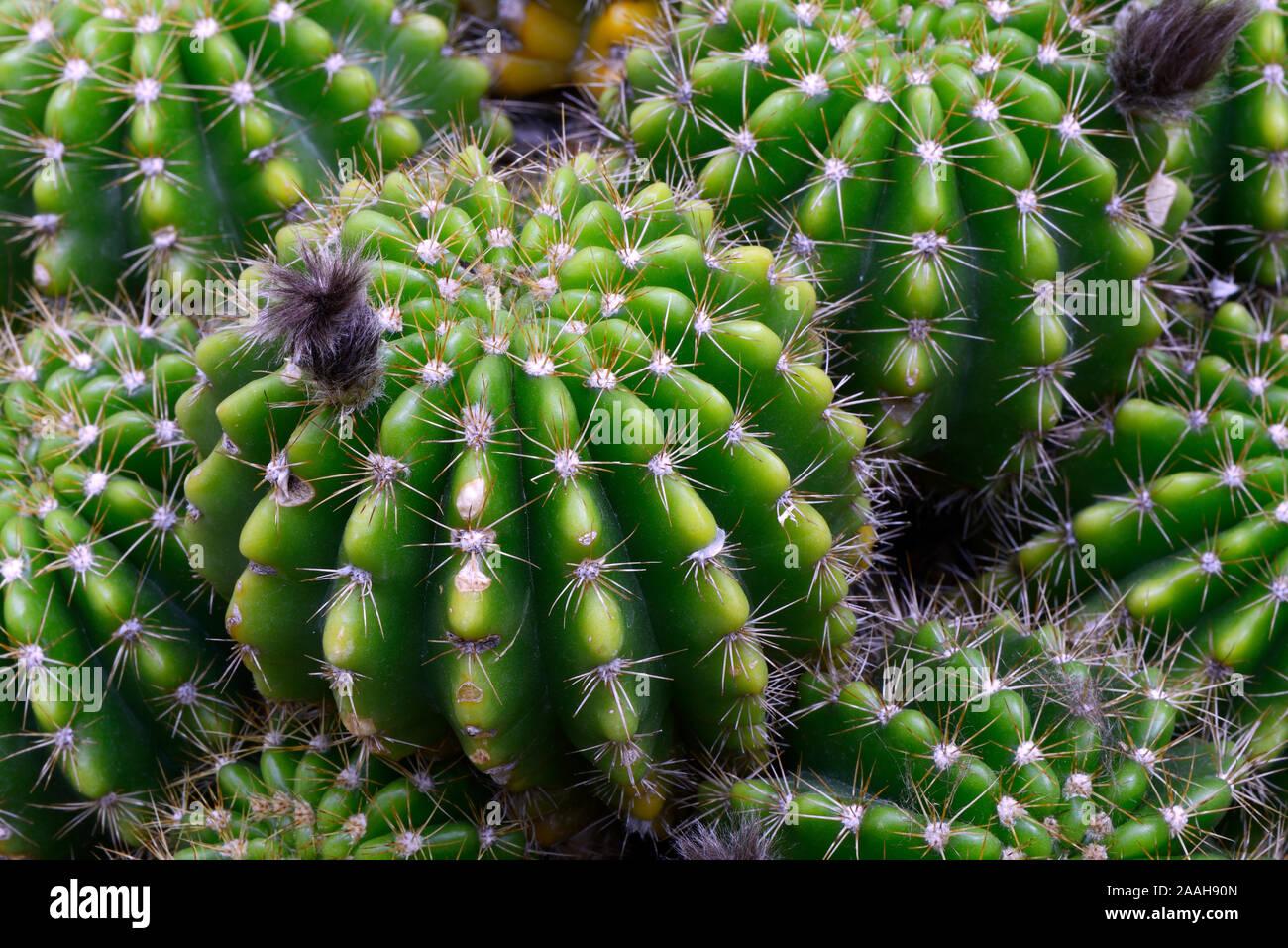 Hellgrüne Echinopsis (Echinopsis calochlora) Vorkommen Brasilien Stock Photo