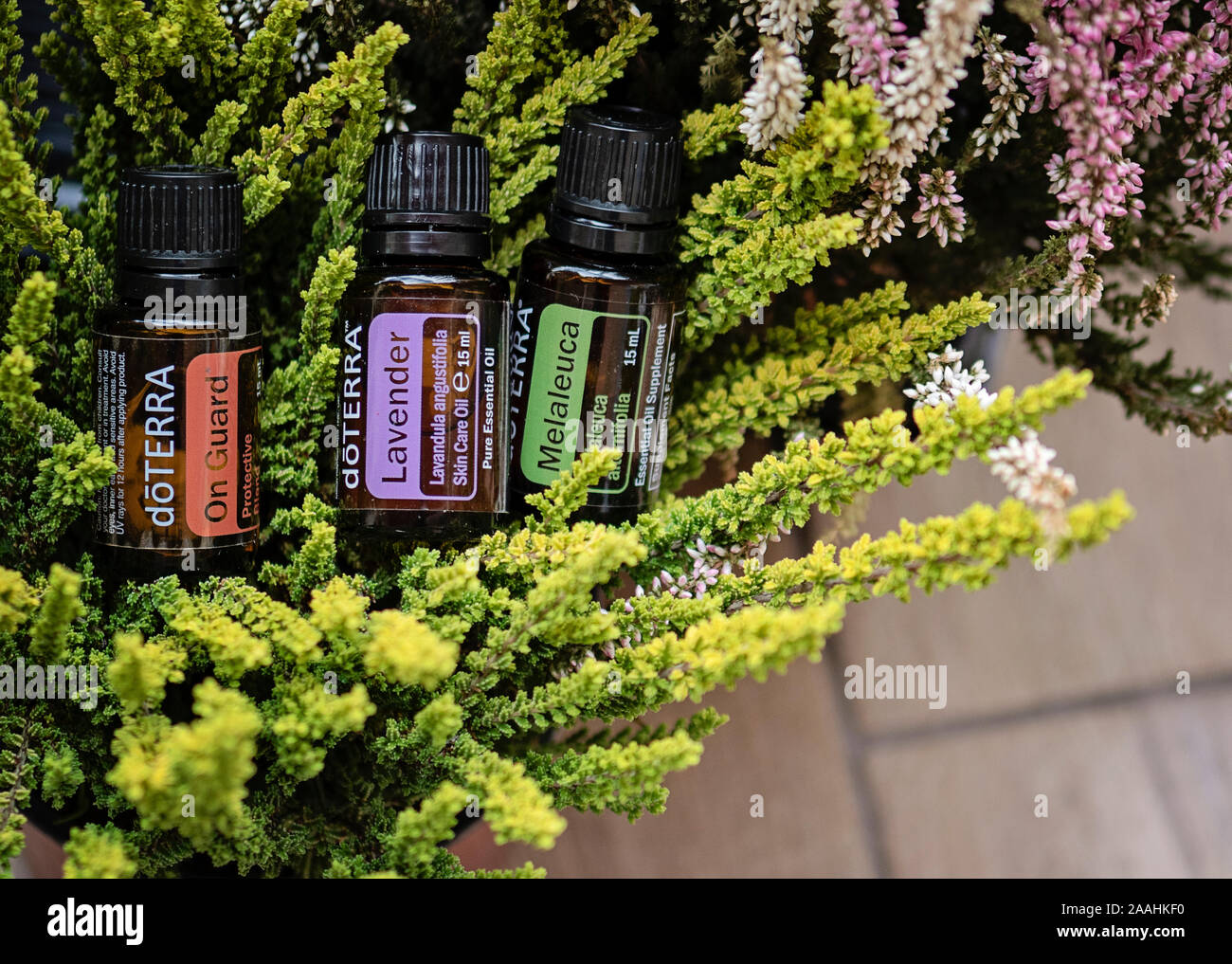 Banska Bystrica Slovakia October 6th 2019 Selective Focus On High Quality Essential Oils Doterra Brand On Guard Melaleuca And Lavender Oil Stock Photo Alamy