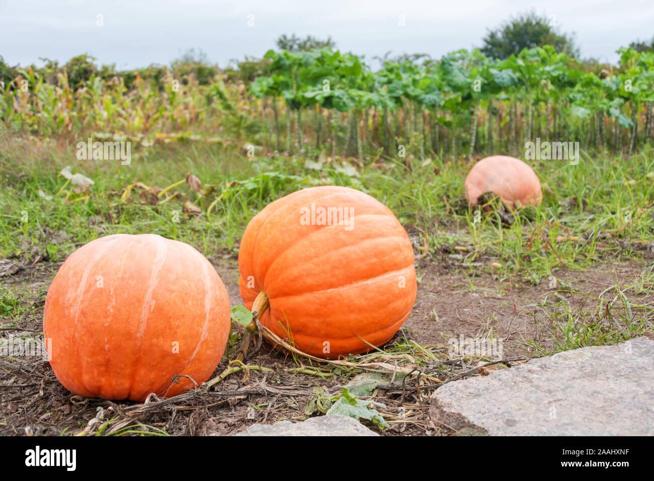 Big orange pumpkins growing in the garden. Halloween pumpkins in a vegetable garden on a farm, autumn harvest season. Organic natural food. Pumpkin Stock Photo