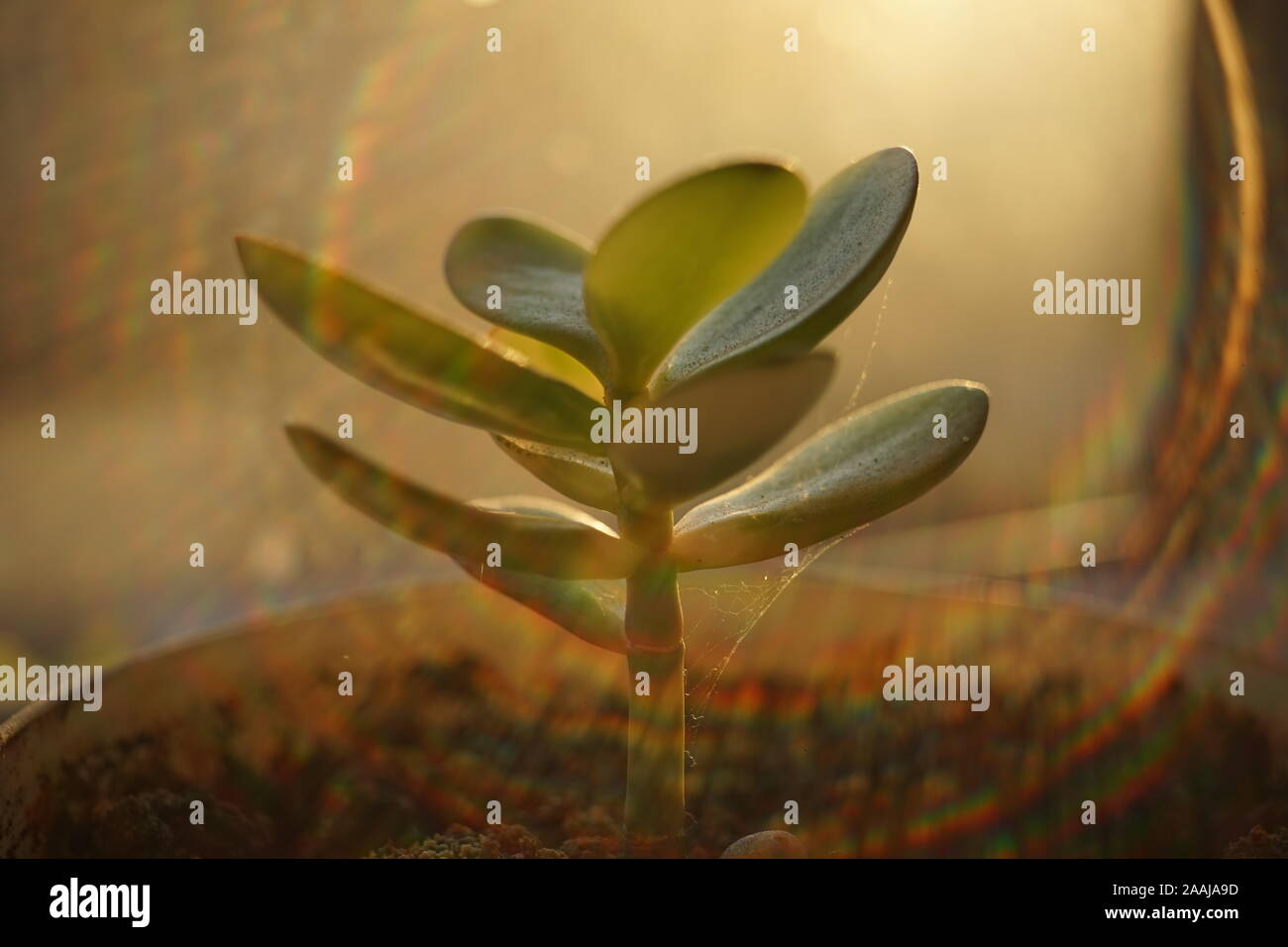 Young sprout money tree. Crassula flower closeup. Stock Photo