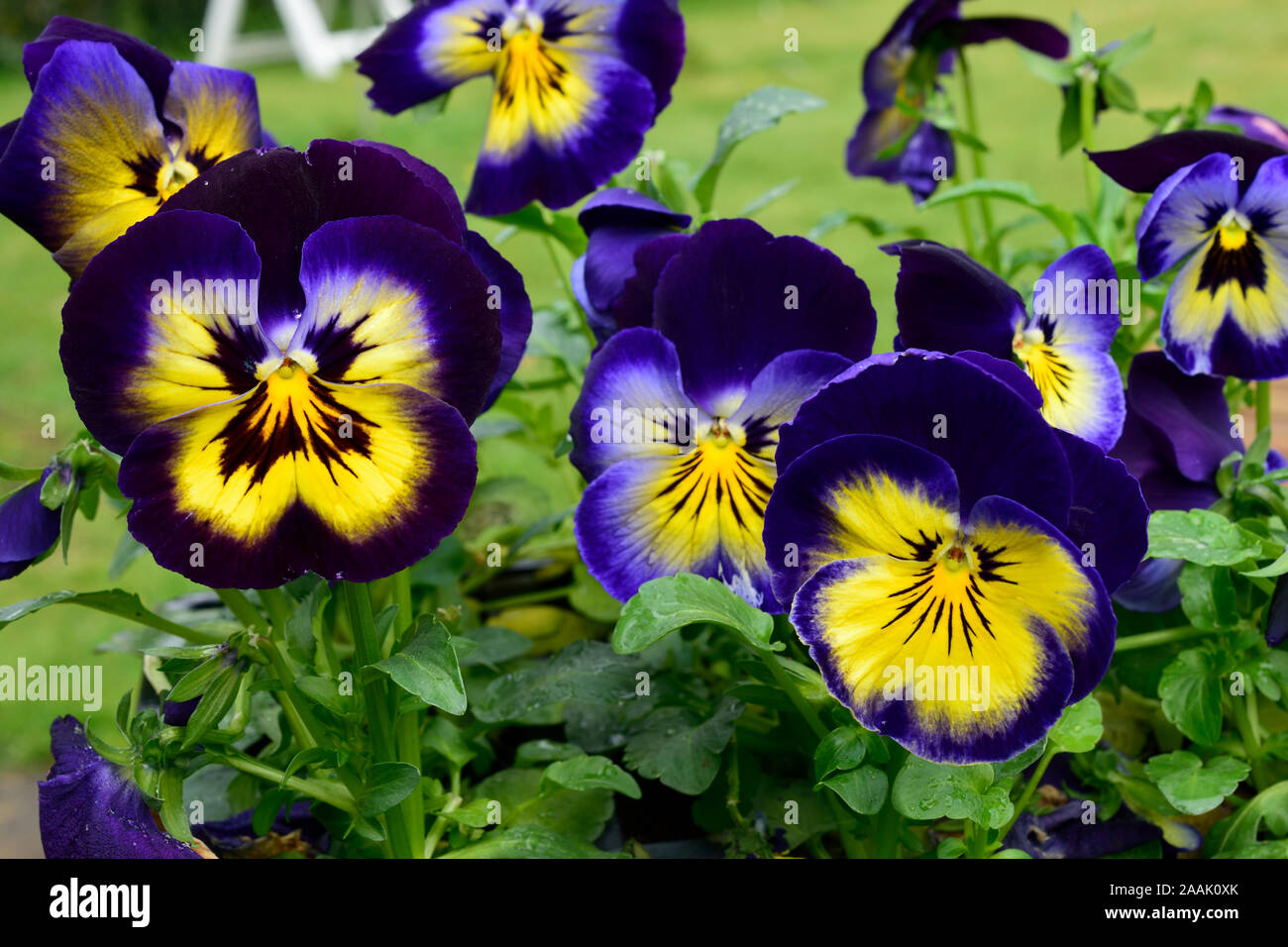 Pansy Or Viola Name Midnight Glow Close Up Of Dark Blue Flowers
