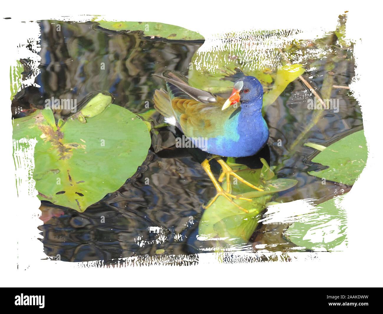 Purple gallinule (Porphyrio martinicus) Walking on Leaved in Everglades National Park Stock Photo