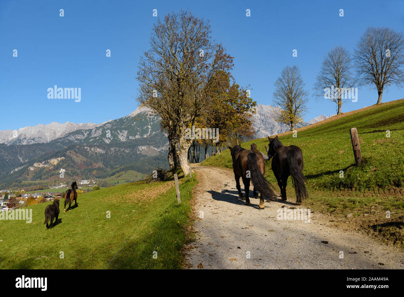 Man leads horses to pasture at lake Ritzenseein Saalfelden, with mountain and clear blue sky in the background, Pinzgau, Salzburg Land, Austria. Stock Photo