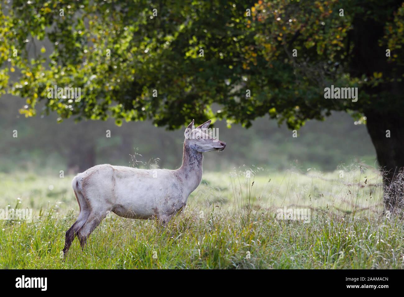 Weisse Hirschkuh im hohen Gras unter altem Baum Dänemark Stock Photo