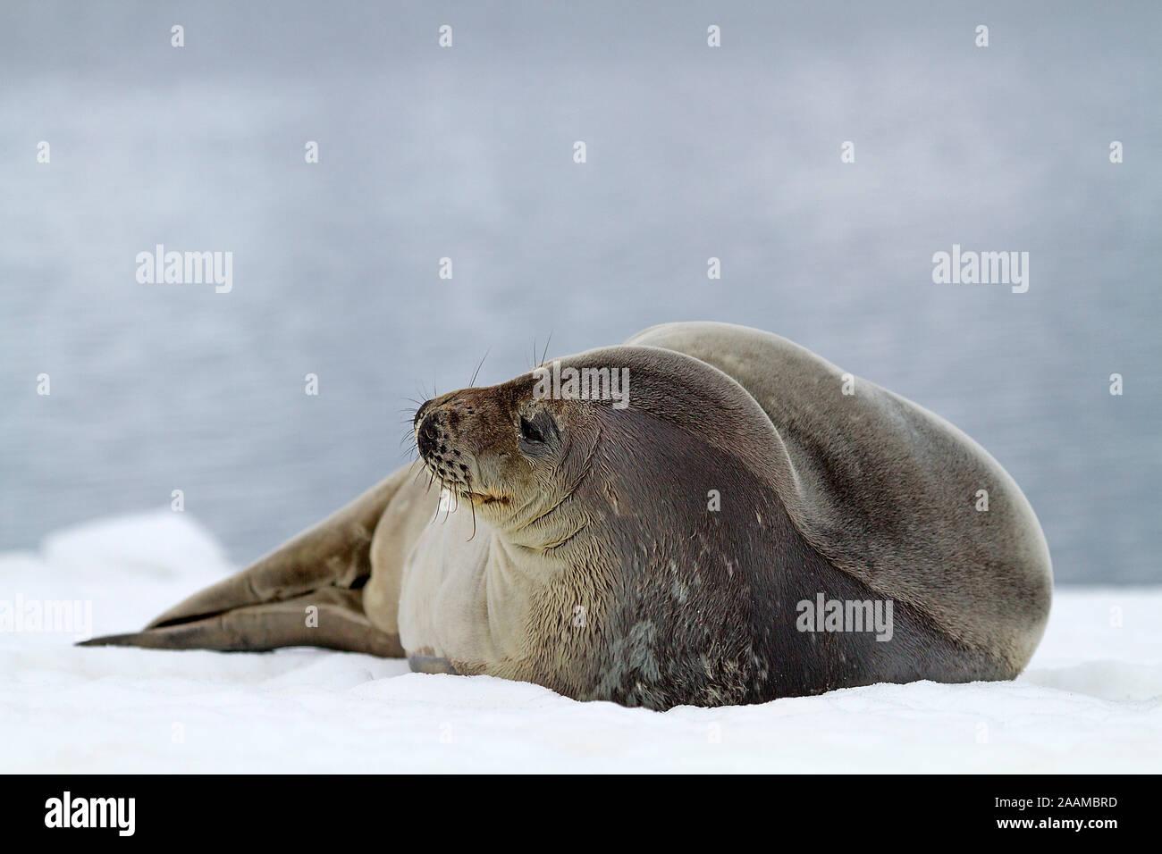 Weddelrobbe Stock Photo