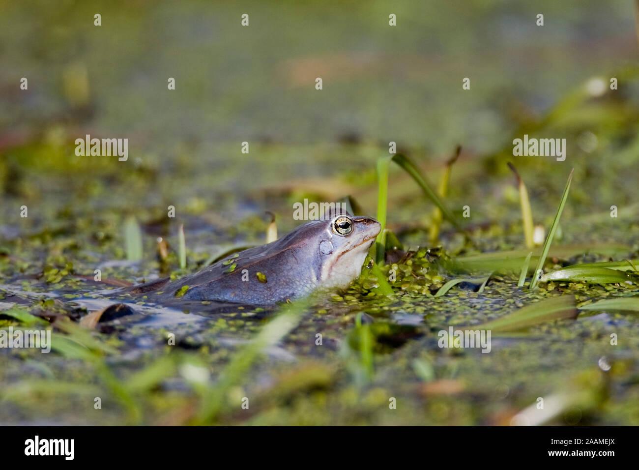 Moorfrosch bei der Paarung - Moor Frog Stock Photo