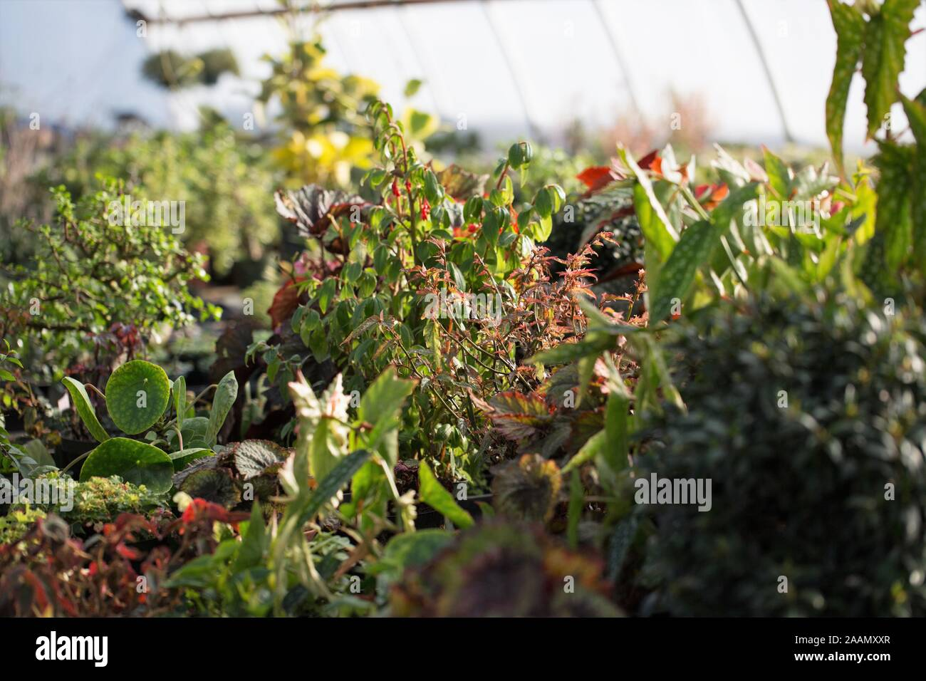 Houseplants growing in a greenhouse. Stock Photo