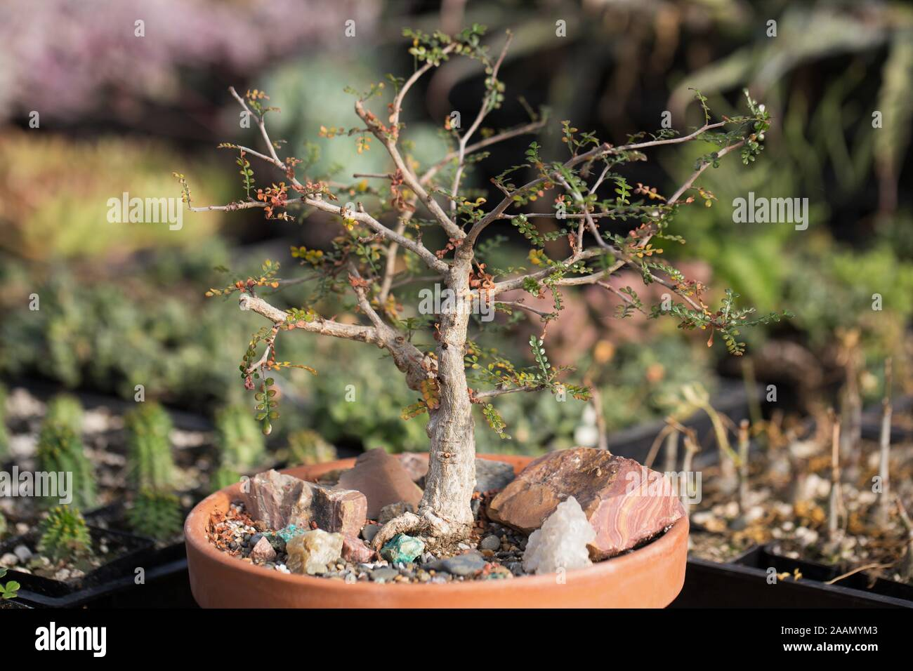 Operculicarya Decaryi Elephant Tree Plant In A Container Stock Photo Alamy