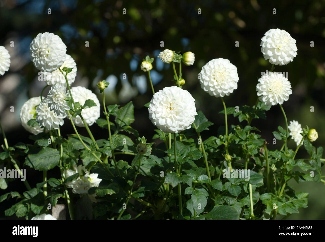 Garden Bed Of White Dahlia Flowers Stock Photo Alamy