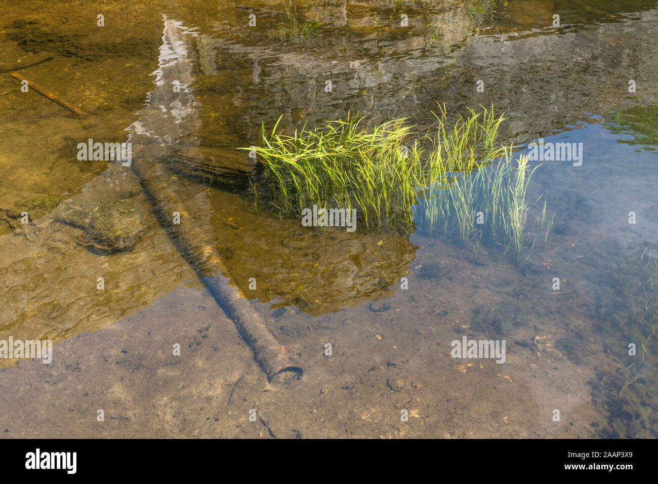 Submerged light green grass-like weeds in flowing River Fowey on sunny day. Believed to be Vallisneria spiralis / Eelweed, Eelgrass, tapeweed. Stock Photo