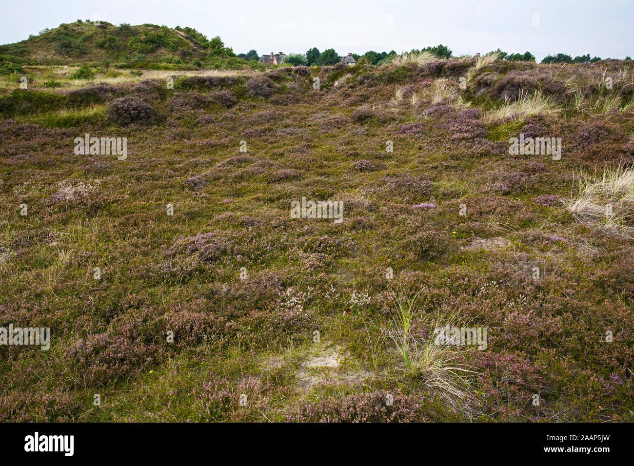 Heidelandschaft und Reetdachhäuser im Naturschutzgebiet Braderuper Heide auf Sylt Stock Photo