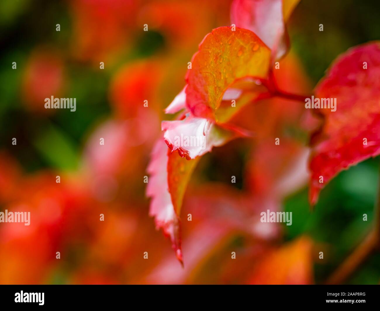 Red leaves after rain one leaf isolated Stock Photo