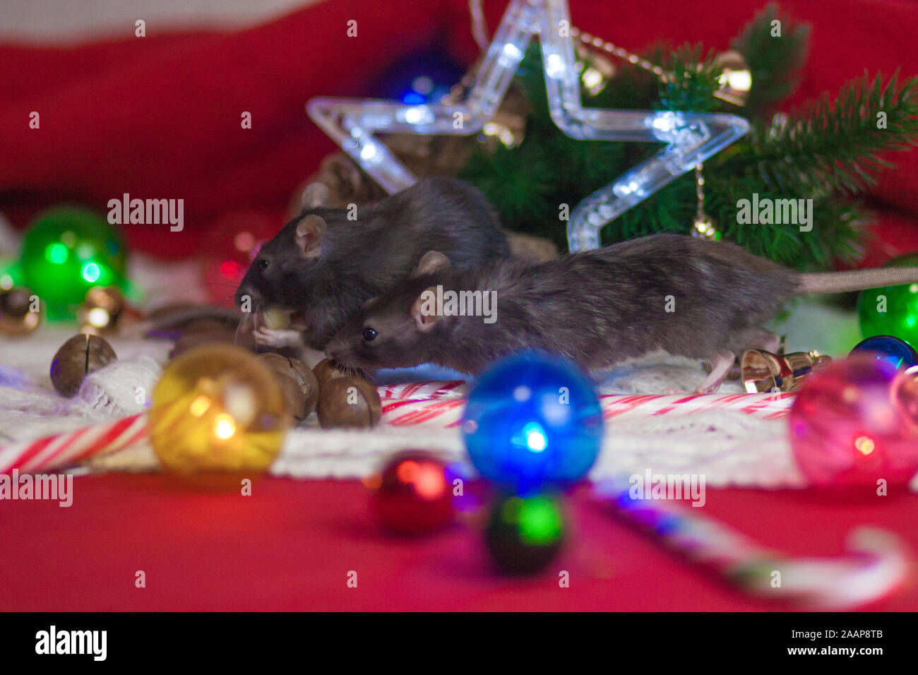 Thelights Of Christmas 2020 Rats are gray and Christmas star. Celebrates Christmas and New