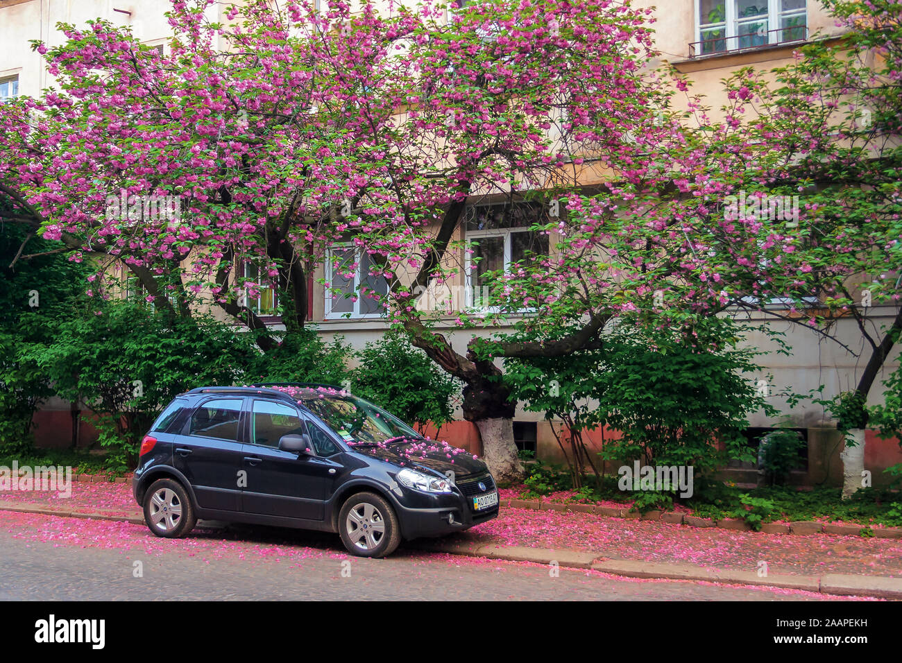 Uzhhorod Ukraine 02 May 2010 Black Compact Suv Car Under The Cherry Tree In Blossom Typical Scenario On The Streets Of Old Town In Springtime F Stock Photo Alamy