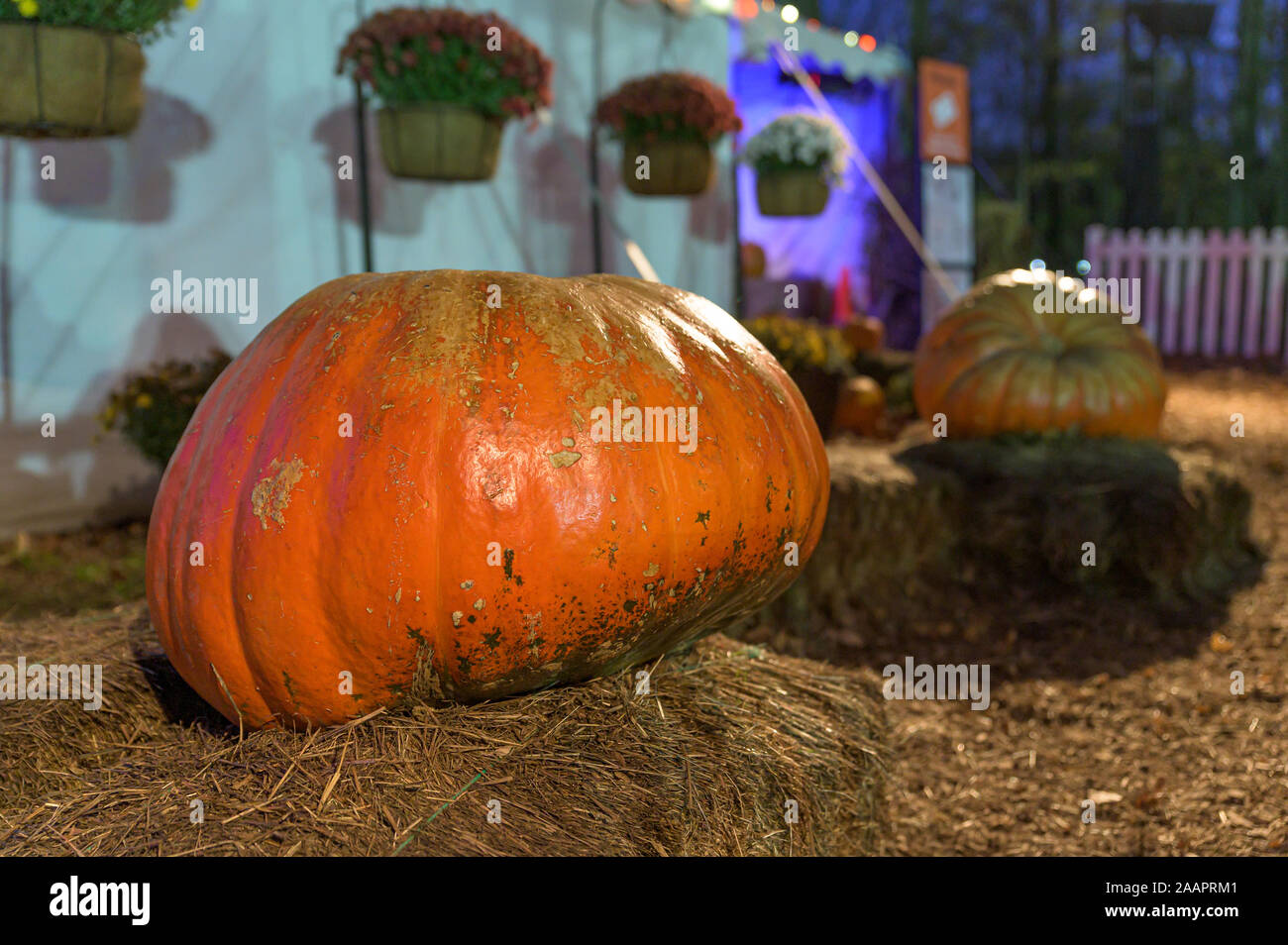 A massive pumpkin presented on a stack of hay in Upstate New York Stock Photo