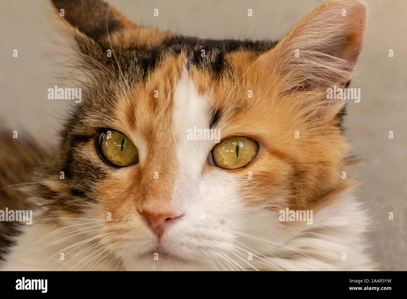 Close-up street cat portrait of European Shorthair breed Stock Photo