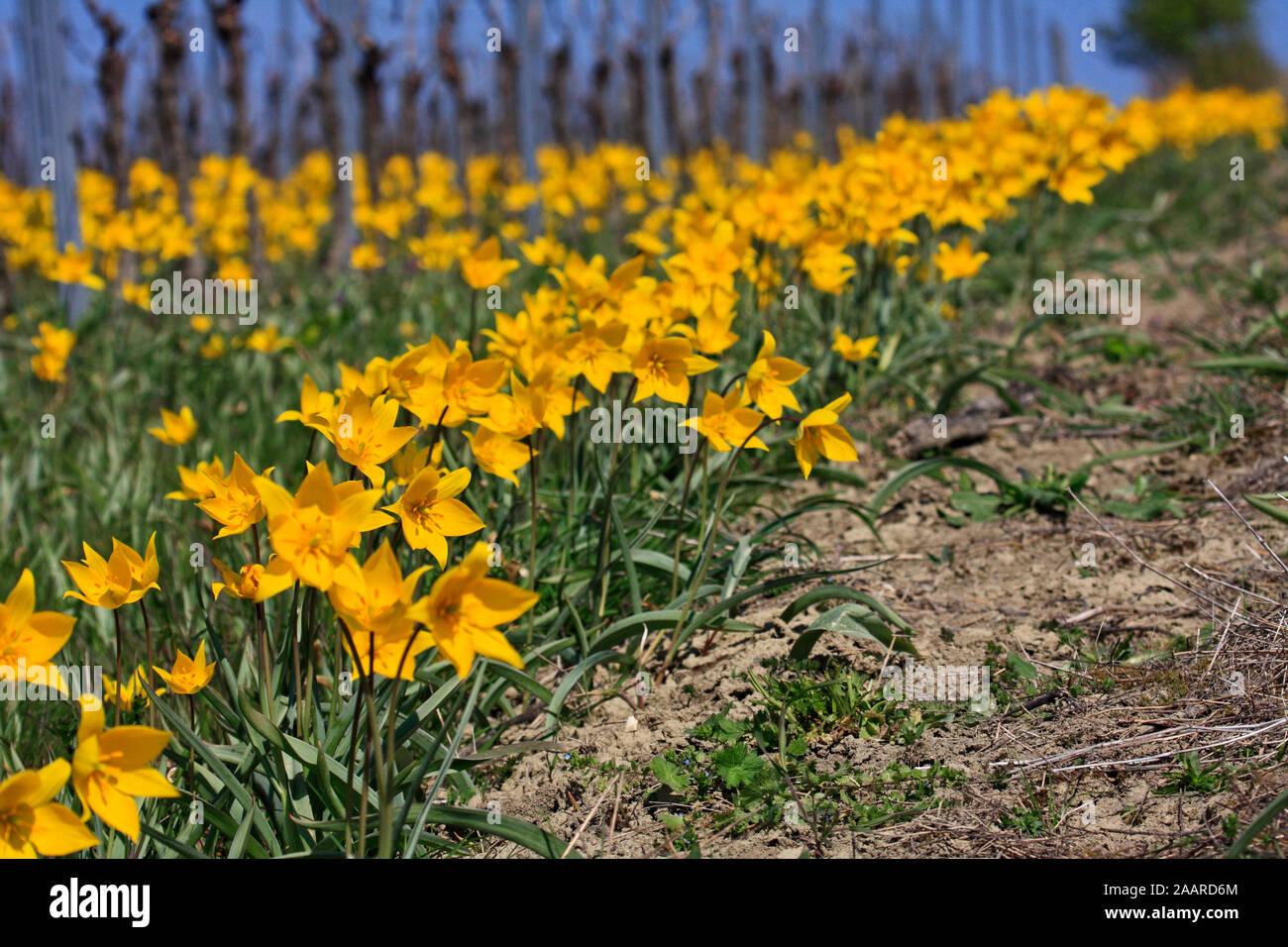 Wilde Tulpe (Tulipa sylvestris) Stock Photo