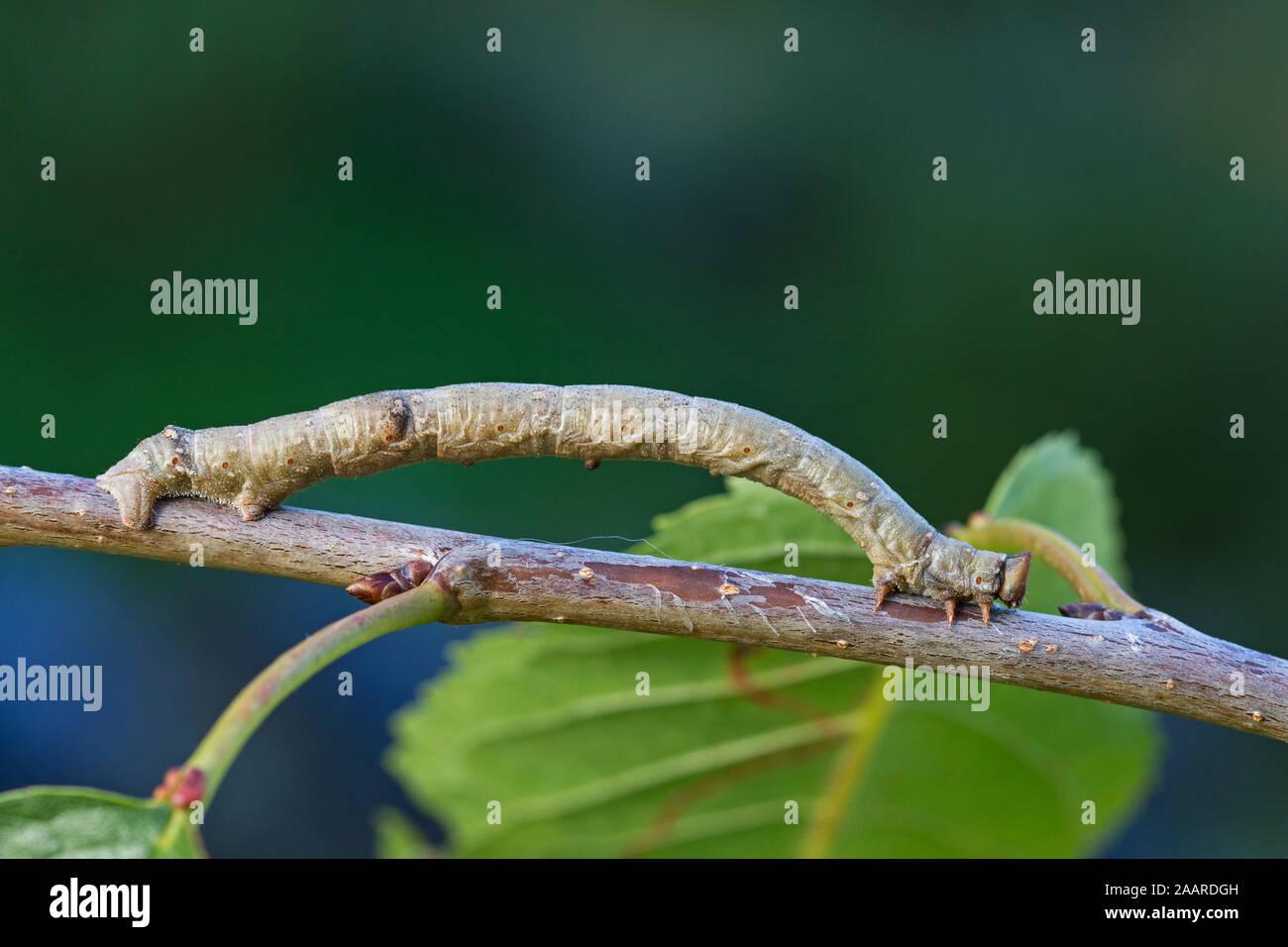 Birkenspanner, Biston betularia, Nachtfalter, Schmetterling, Stock Photo