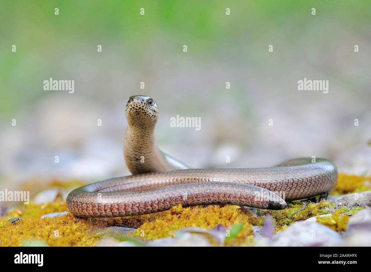 Blindschleiche, (Anguis fragilis) Stock Photo
