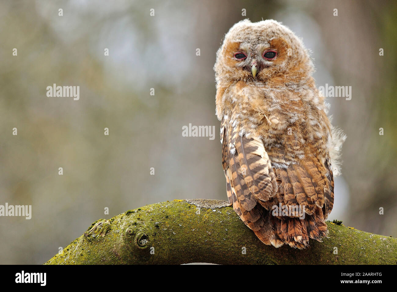 Waldkauz; Tawny Owl; (Strix aluco); Stock Photo