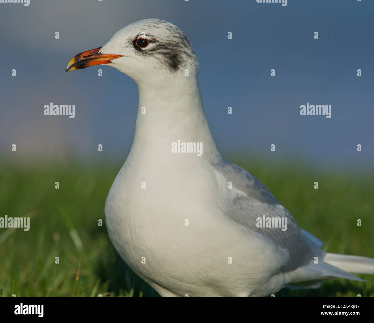 Mediterranean Gull (Larus melanocephalus) in winter plumage on a sunny day in North Yorkshire. Stock Photo