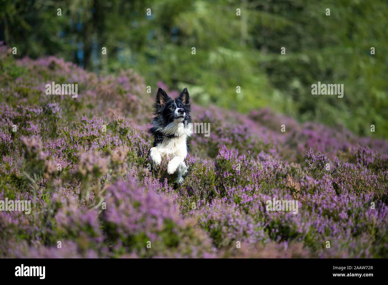 Border Collie in flowering heather Stock Photo