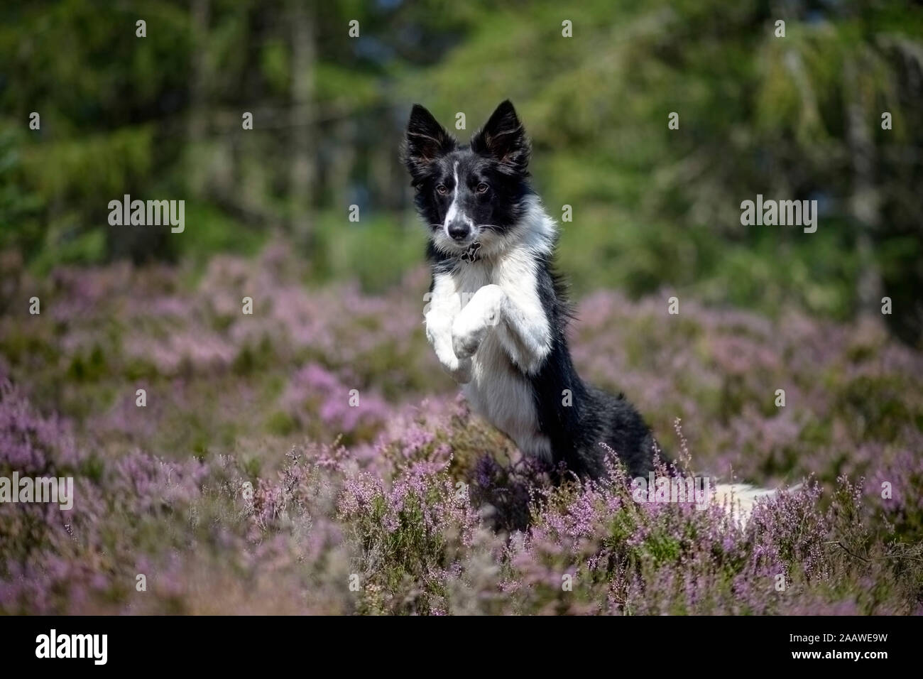 Jumping Border Collie in flowering heather Stock Photo