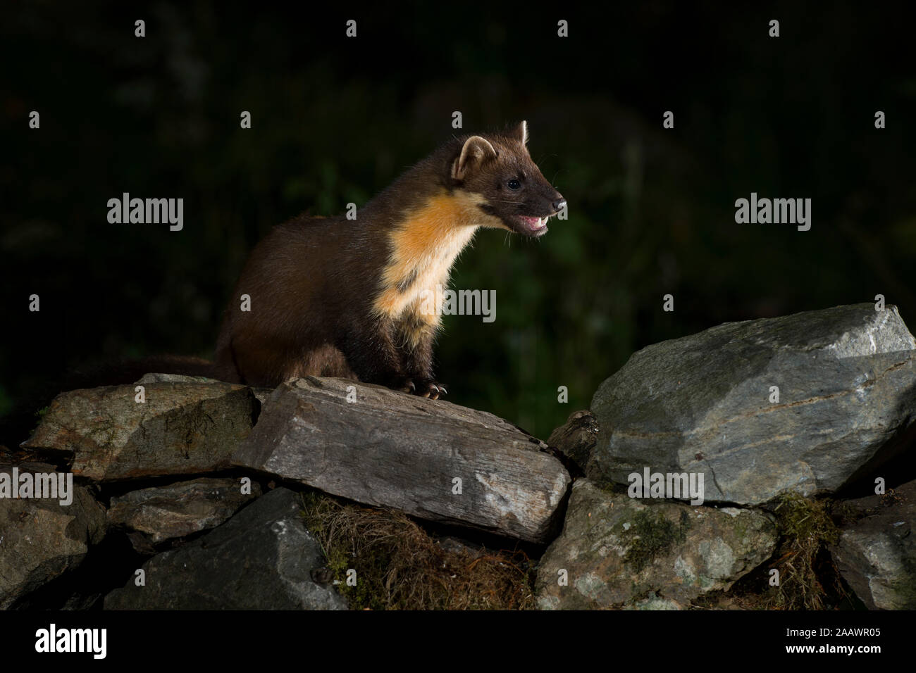 Portrait of pine marten sitting on stones at night Stock Photo