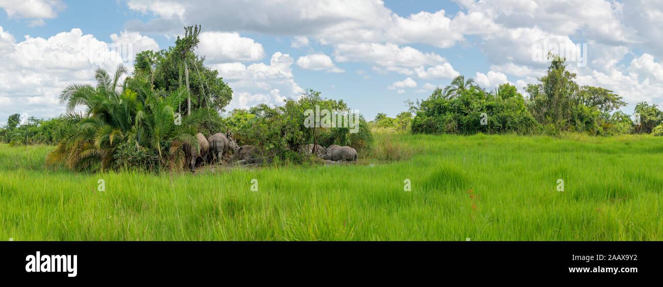 A family of southern white rhinoceros (southern square-lipped rhinoceros, Ceratotherium simum simum) on an island in Ziwa Rhino Sanctuary,  Uganda Stock Photo