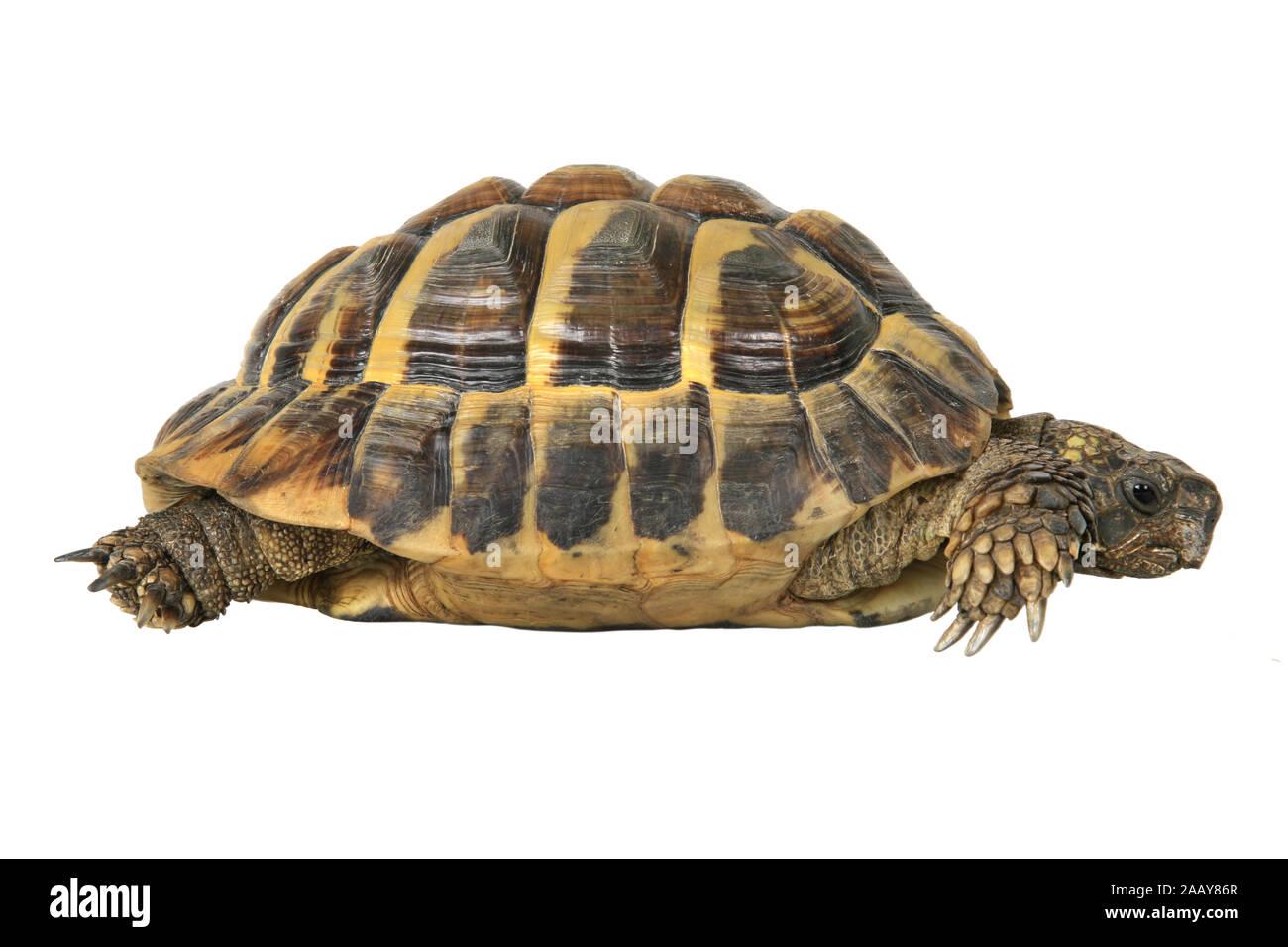 Griechische Landschildkroete, Boettgers Landschildkroete (Testudo hermanni boettgeri), Seitenansicht | Hermanns tortoise, Greek tortoise, Boettgers to Stock Photo