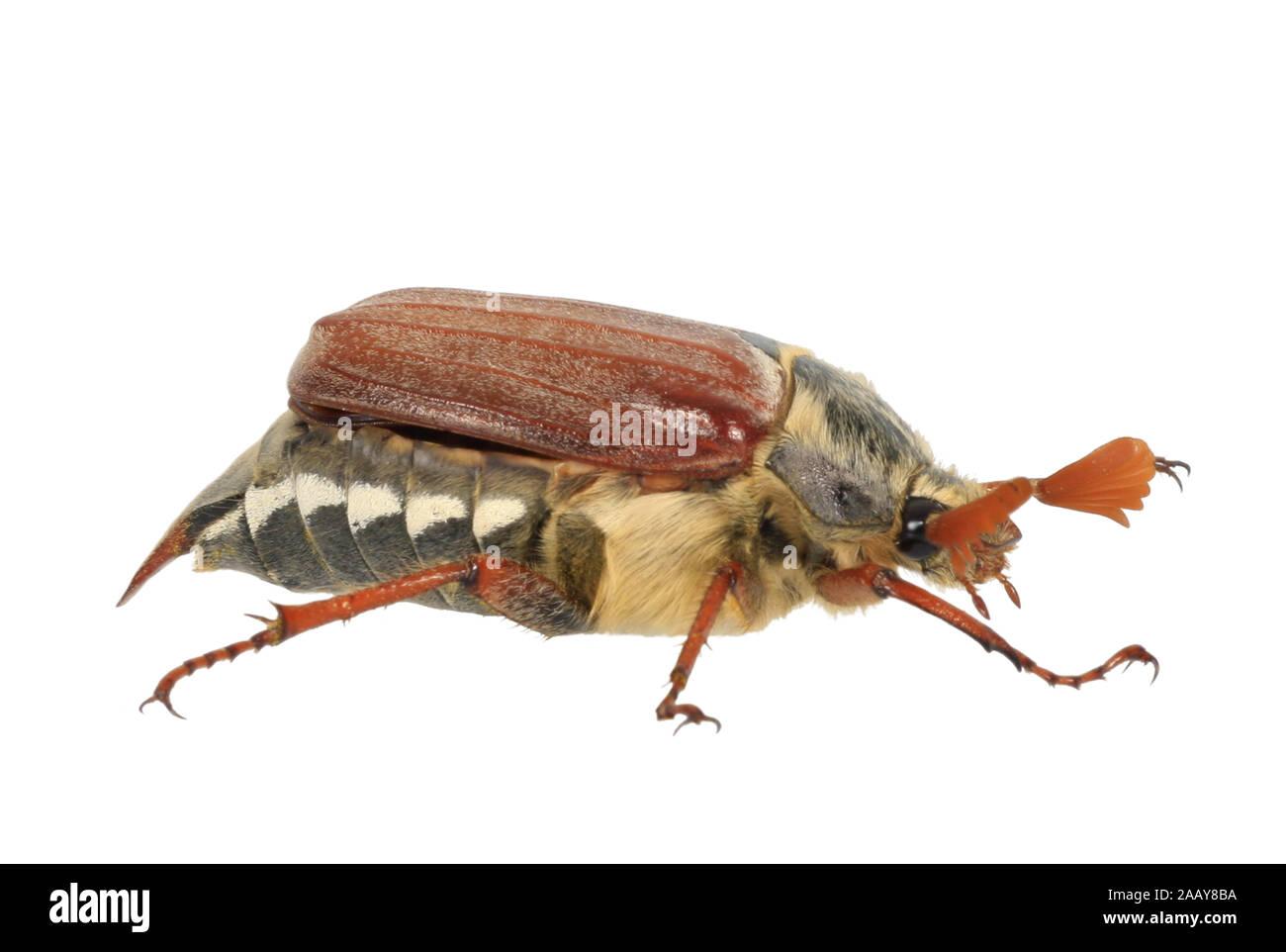Maikaefer, Feldmaikaefer (Melolontha melolontha), Deutschland | common cockchafer, maybug (Melolontha melolontha), Germany | BLWS080812.jpg [ (c) blic Stock Photo