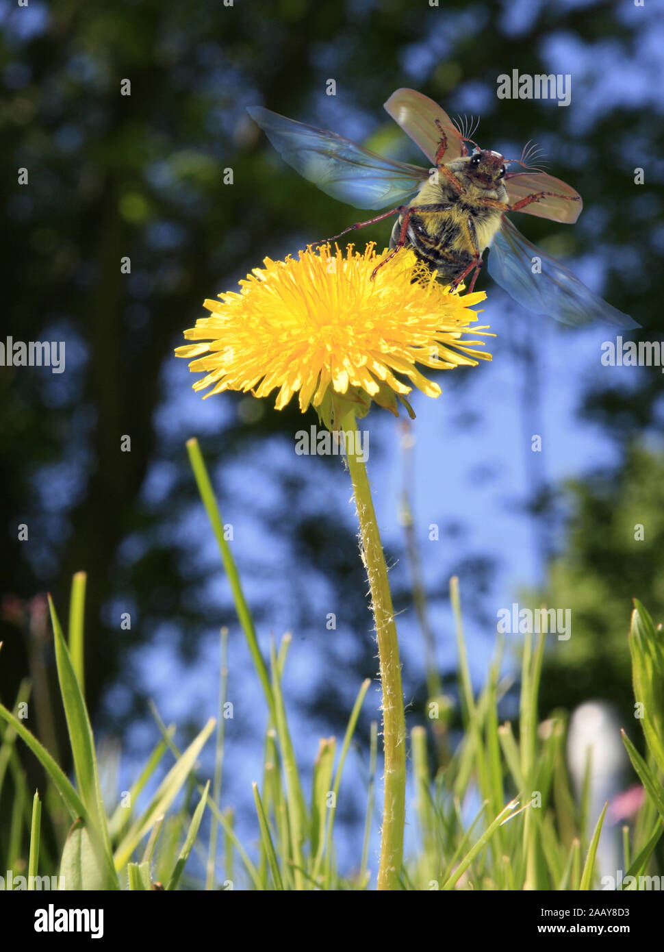 Maikaefer, Feldmaikaefer (Melolontha melolontha), fliegt von Loewenzahnbluete auf, Deutschland | common cockchafer, maybug (Melolontha melolontha), ta Stock Photo