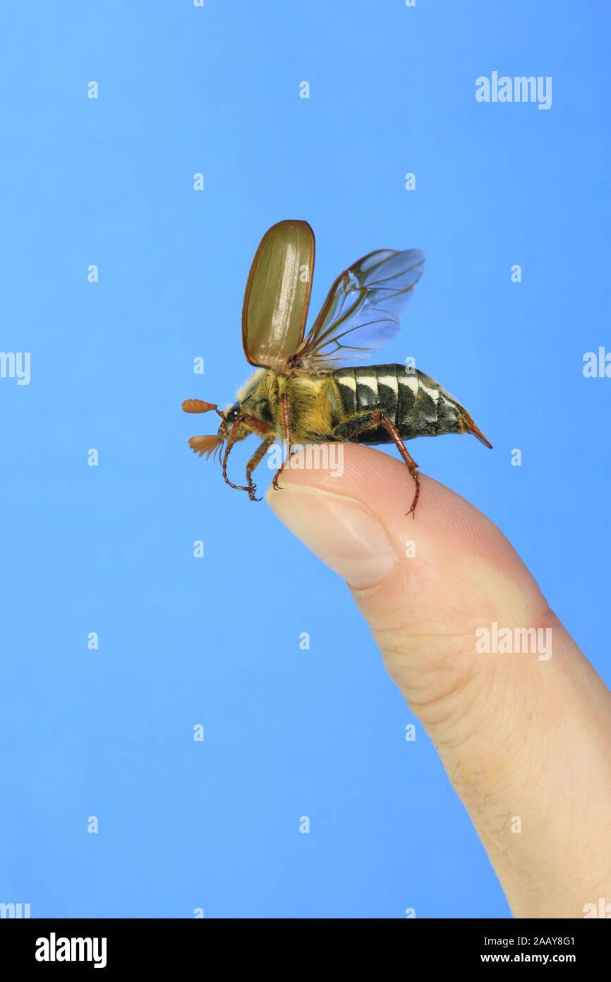 Maikaefer, Feldmaikaefer (Melolontha melolontha), auf einem Finger, Deutschland | common cockchafer, maybug (Melolontha melolontha), on a finger, Germ Stock Photo