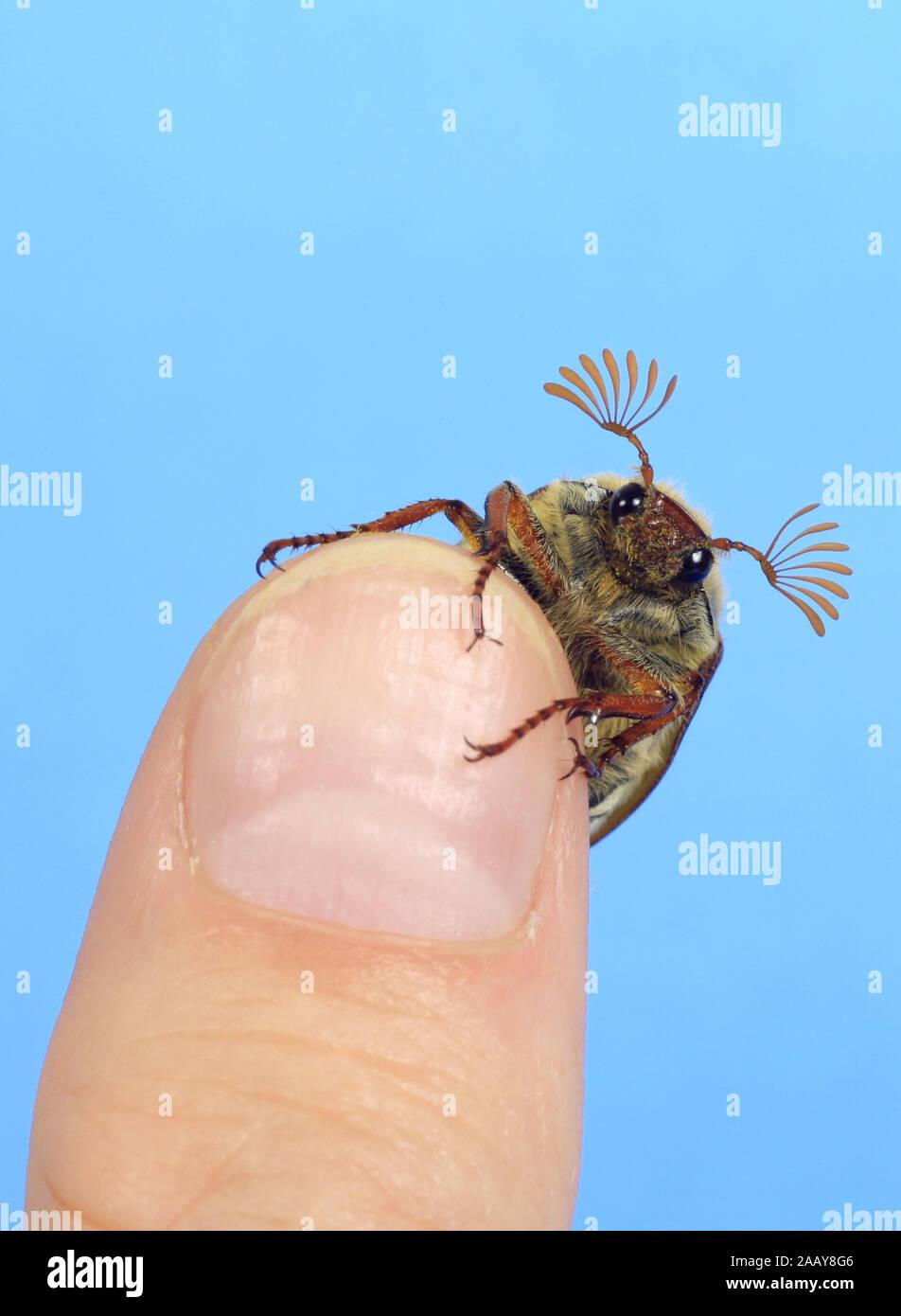 Maikaefer, Feldmaikaefer (Melolontha melolontha), auf einem Finger, Deutschland   common cockchafer, maybug (Melolontha melolontha), on a finger, Germ Stock Photo