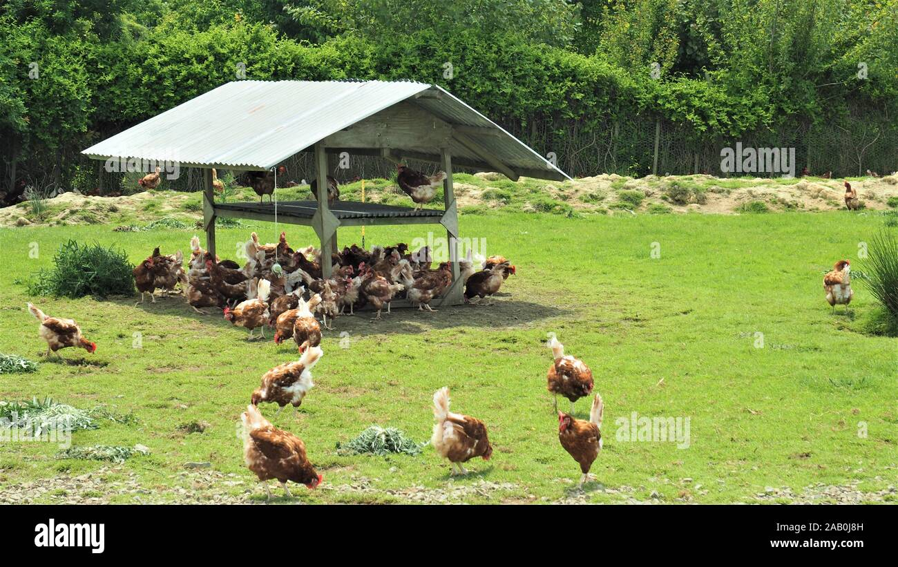 Free range brown chickens foraging in the sun and shade outside their barn in a New Zealand commercial egg operation. Stock Photo