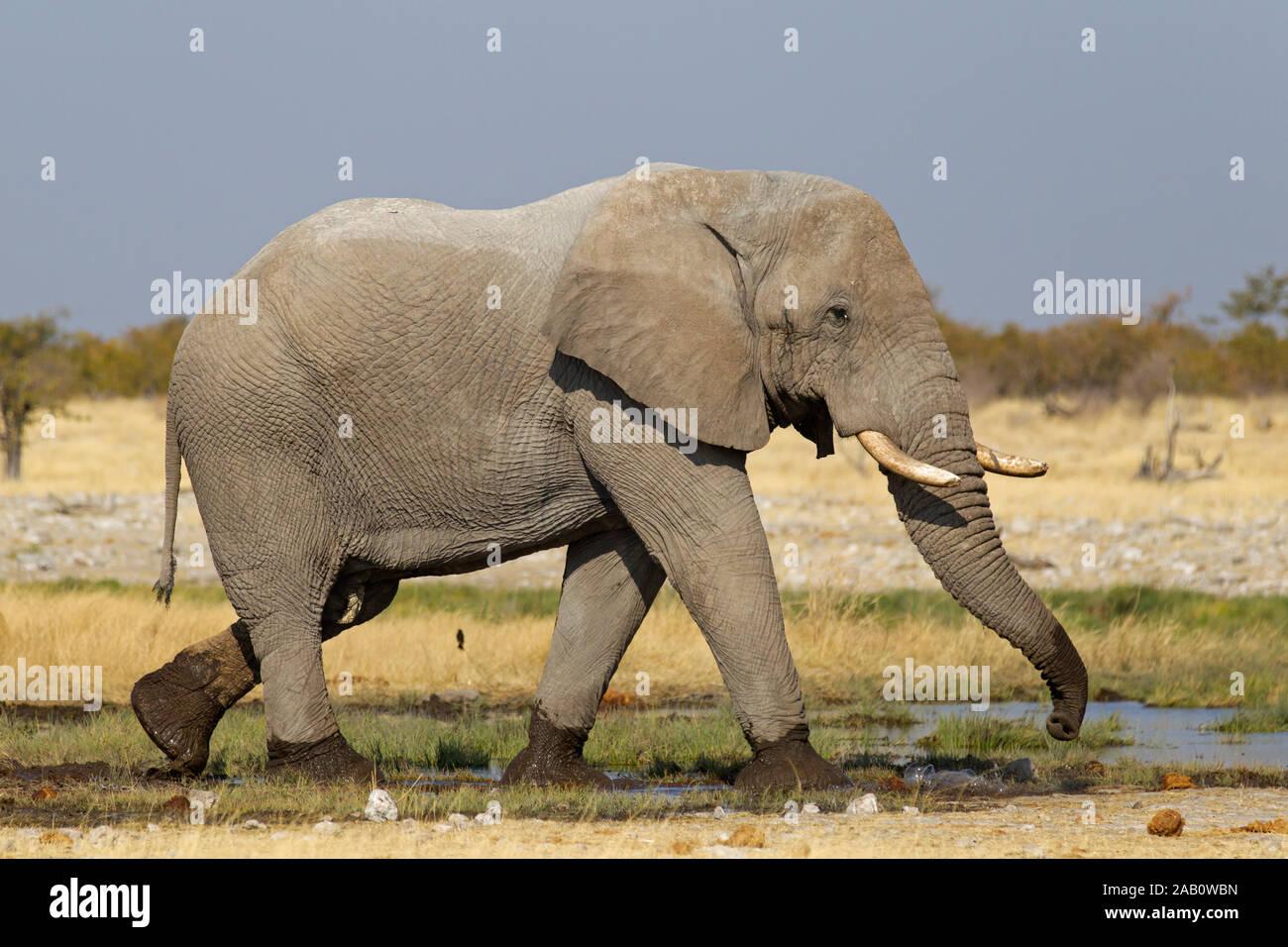 Afrikanischer Elefant am Wasserloch, Loxodonta africana, Stock Photo