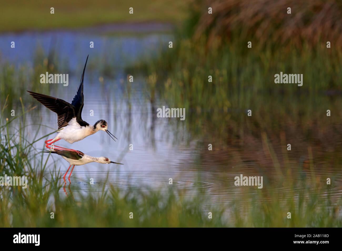 Stelzenläufer, Himantopus himantopus, Stock Photo